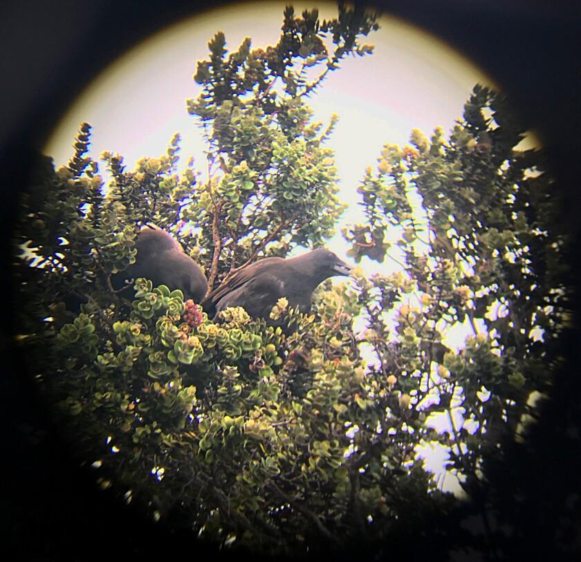 ʻAlalā nest