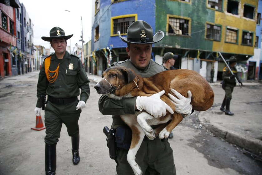 A police officer carries a dog that was rescued from El Bronx, a neighborhood plagued by drug addicts and prostitution, in downtown Bogota, Colombia, Thursday, June 2, 2016. Days after the police raided the streets of Colombia's largest open-air drug market, authorities returned to rescue the aband