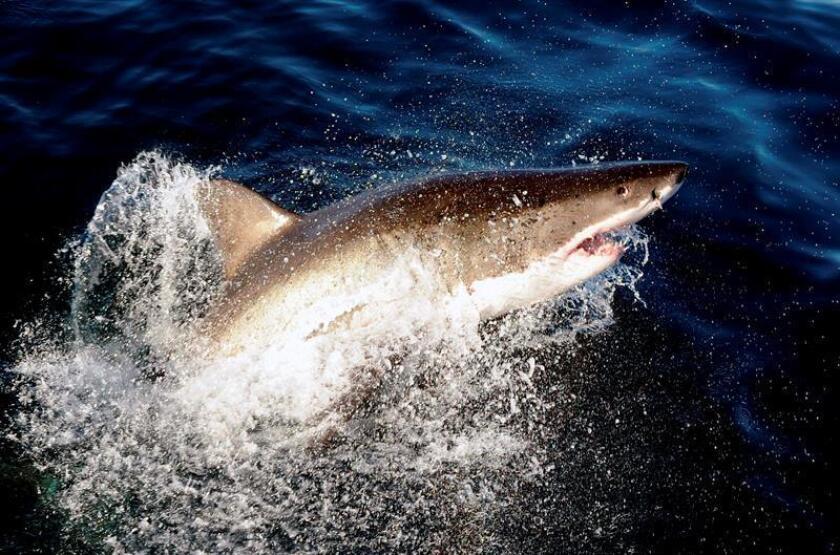 """Un enorme tiburón hembra de más de 1.600 libras de peso y 12 pies de largo que fue """"marcado"""" por una organización defensora de la vida marina se encuentra en aguas del Golfo de México, a la altura de la ciudad floridana de Tampa, tras recorrer más de 5.600 millas desde septiembre de 2016. EFE/Archivo"""