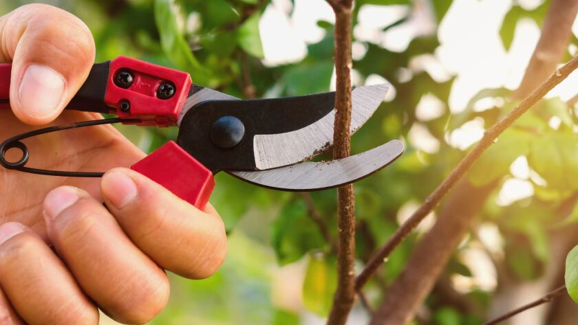 hand pruning tree and pruning shear in garden