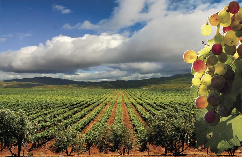 Vineyard in Baja's Valle de Guadalupe.