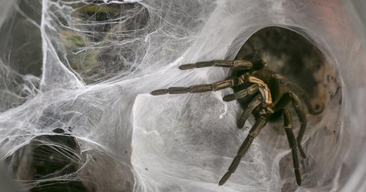 Tarantulas Dont Spook Loyal Owners The San Diego Union