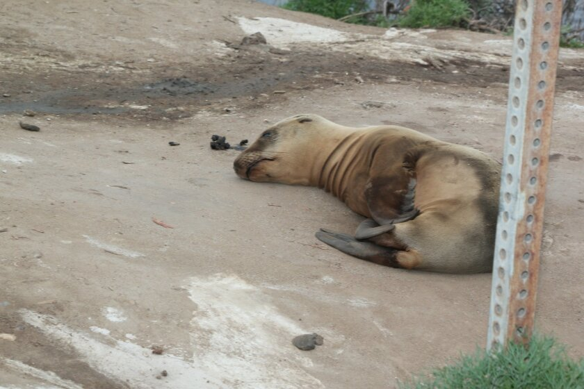 Last week, this sea lion was photographed lying close to the gate where people access the bluffs at La Jolla Cove, a rare sight during daylight hours. During the 2013 starvation epidemic, dehydrated, malnourished sea lion pups made their way up the cliffs into La Jollans' backyards in search of foo