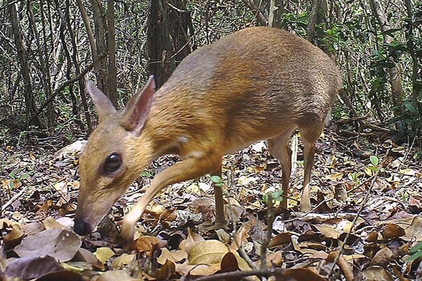A silver-backed chevrotain in southern Vietnam, one of the rarest animals in the world.