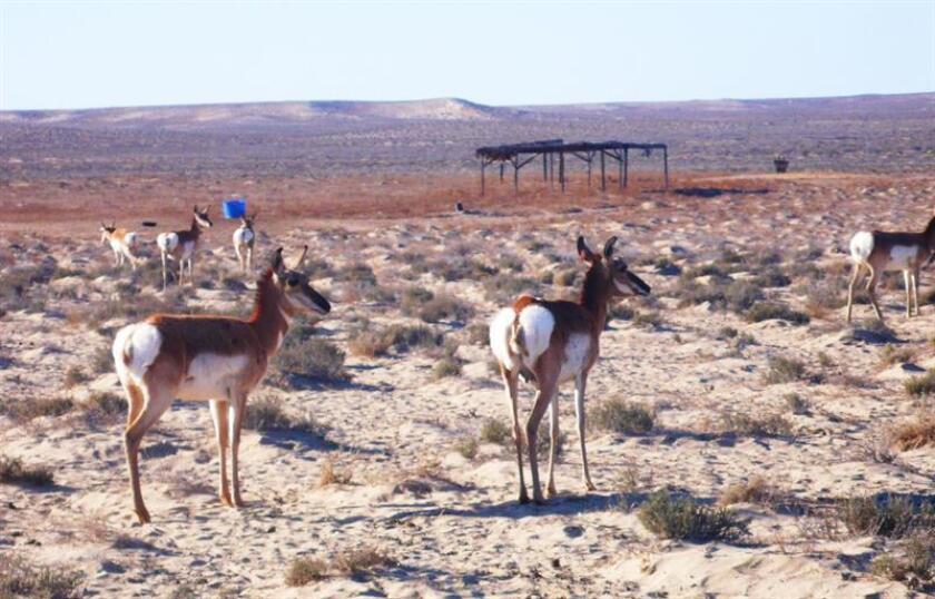 Once crías de berrendo peninsular -una subespecie de protección prioritaria - nacieron en el estado mexicano de Baja California, las primeras de 2018, informó hoy la Comisión Nacional de Áreas Naturales Protegidas (Conanp). EFE/ARCHIVO