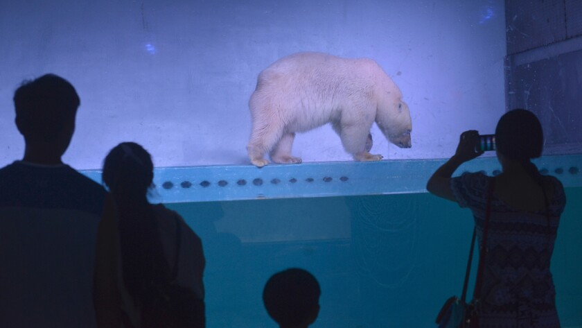 Pizza the polar bear has been Grandview Mall's main attraction since its opening in January,