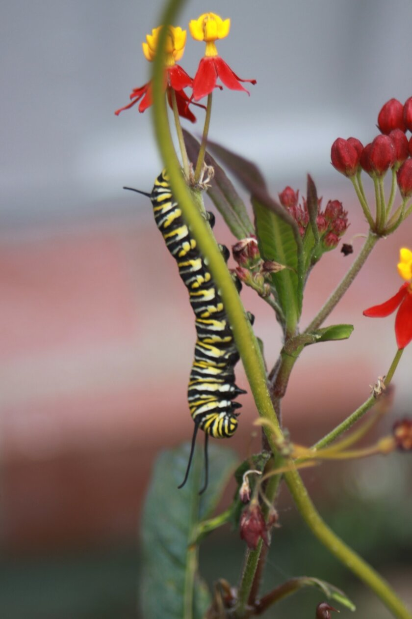 A monarch caterpillar hanging out on a plant in Mary Ellen Morgan's garden