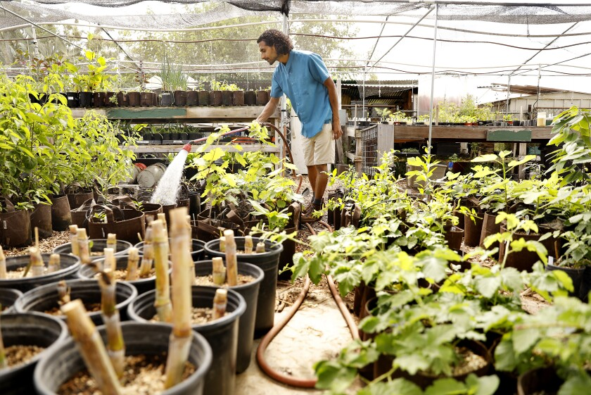 Rishi Kumar waters plants in the organic nursery at his farm in Pomona.