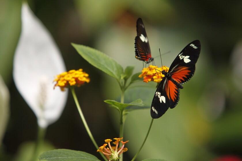 La principal causa de la disminución de la mariposa monarca en México tiene que ver con temperaturas sustancialmente más bajas en Texas, al sur de Estados Unidos.