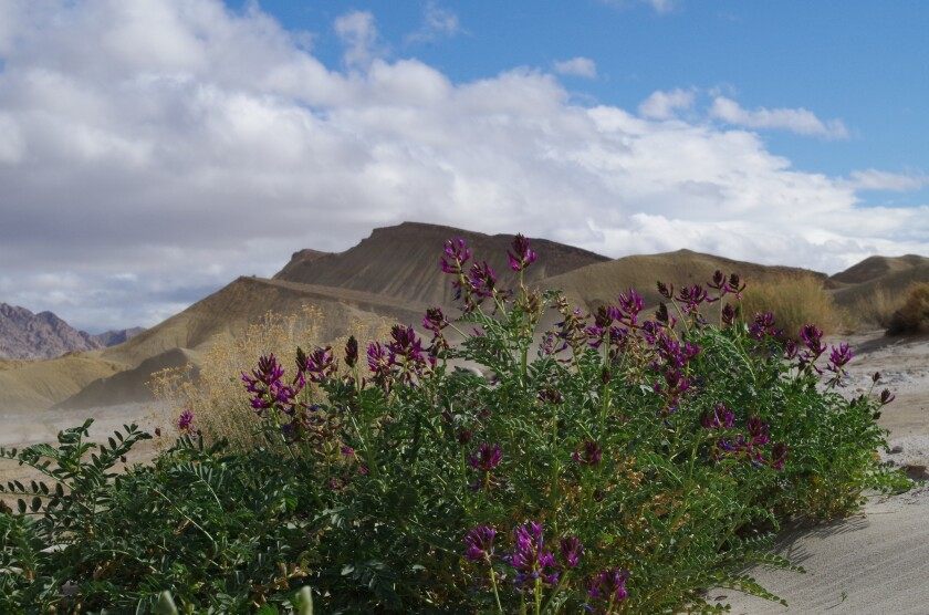 A plant called milk vetch is blooming this wildflower season in the Fish Creek area of Anza-Borrego