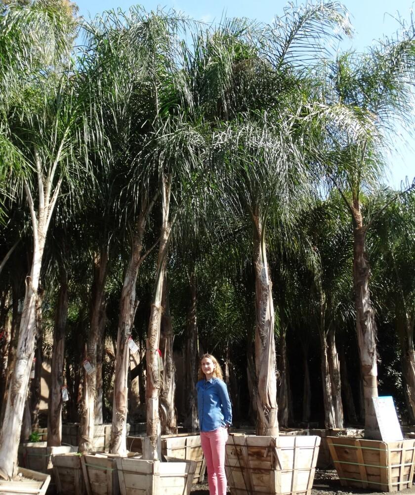 Piru queen palms