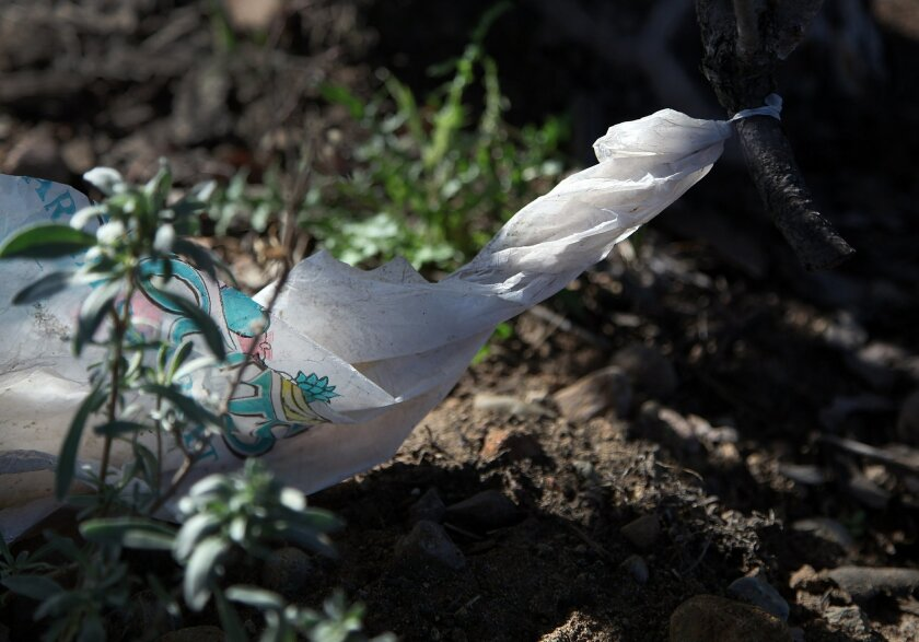 A plastic bag with a little help from the wind was wrapped around a plant not far from the Miramar Landfill.