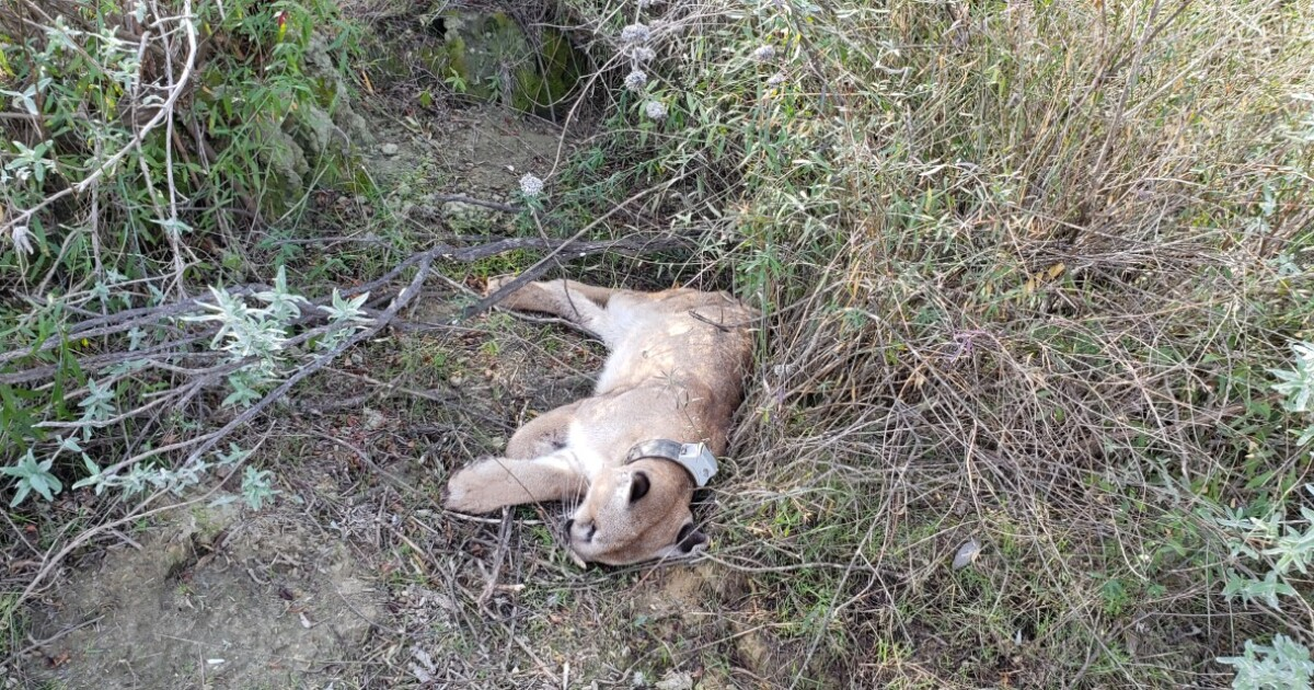 Opinion: Time to stop poisoning mountain lions and other wildlife