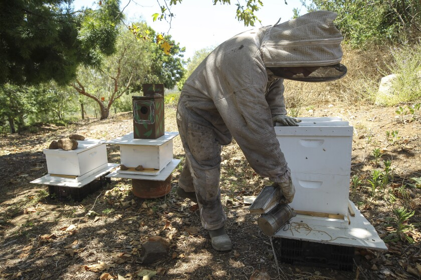 Beekeeper Dave Felker uses smoke to calm bees in one of his hives at his Elfin Forest home in on Friday.