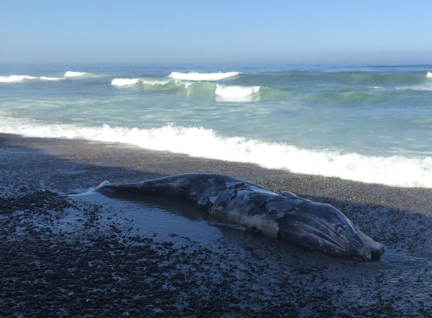 A gray whale washed ashore at Torey Pines State Beach Thursday morning.