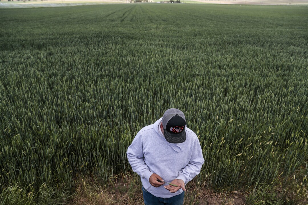 Farmer Paul Crawford picks a healthy wheat stock from a friend's farm to show what a properly irrigated plant looks like.