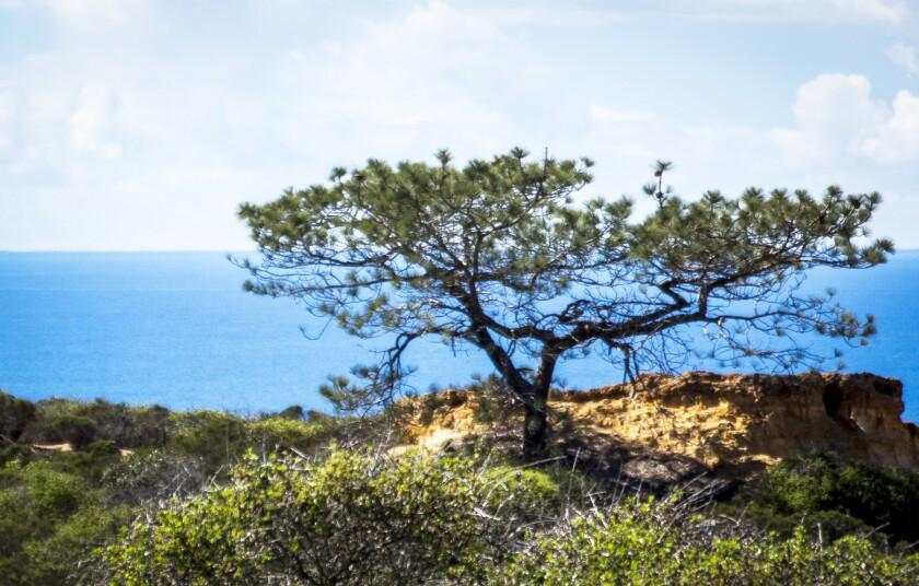 A Torrey pine.