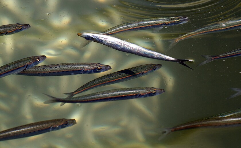 Oiled, salted or marinated anchovies are popular purchases.