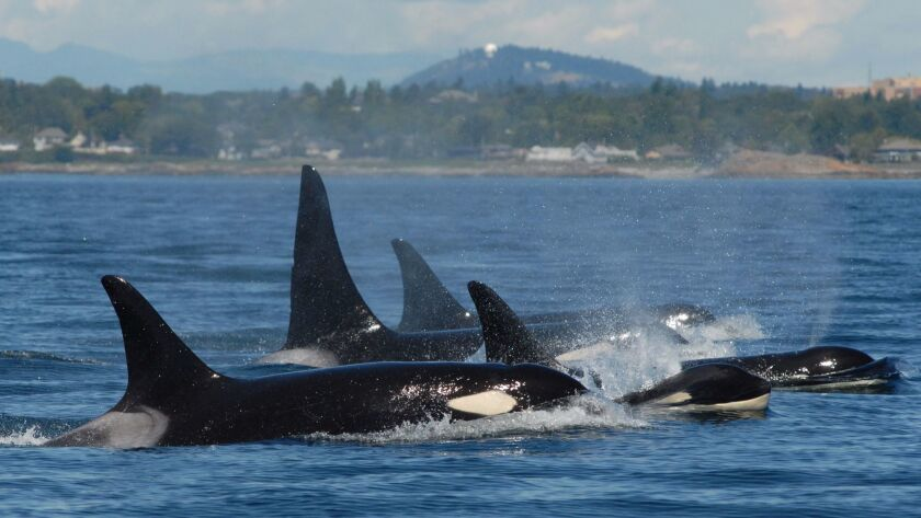 A post-menopausal female leads this group of orcas.