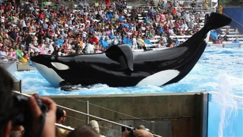 """This undated publicity photo released by courtesy of Magnolia Pictures shows the whale Tilikum in a scene from """"Blackfish,"""" a Magnolia Pictures release. (AP Photo/Magnolia Pictures)"""
