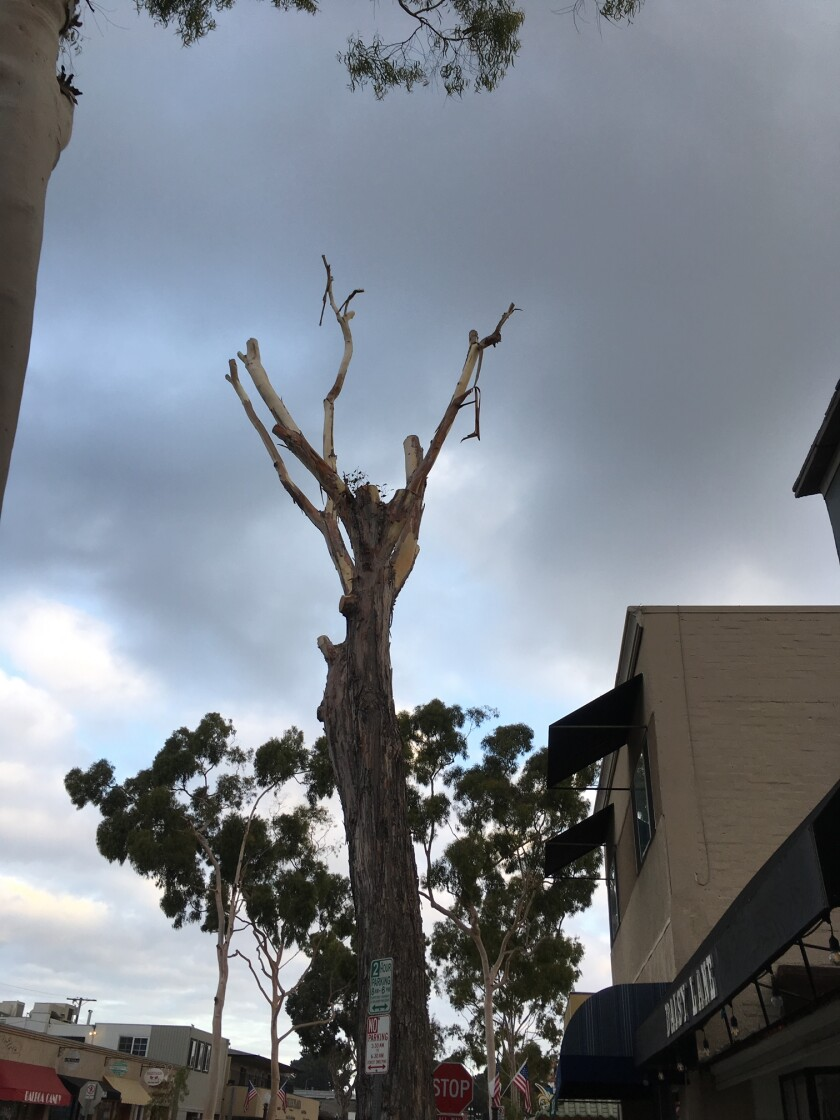 Cropped eucalyptus tree on Marine Avenue