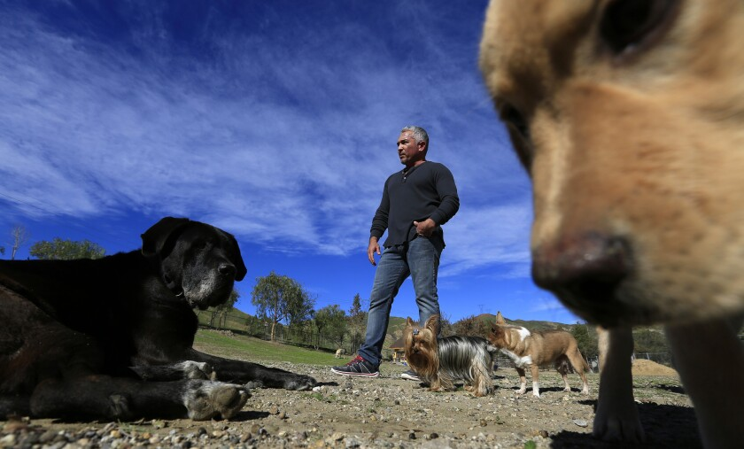 Cesar Millan is shown with dogs at his Dog Psychology Center in January 2015 in Santa Clarita.
