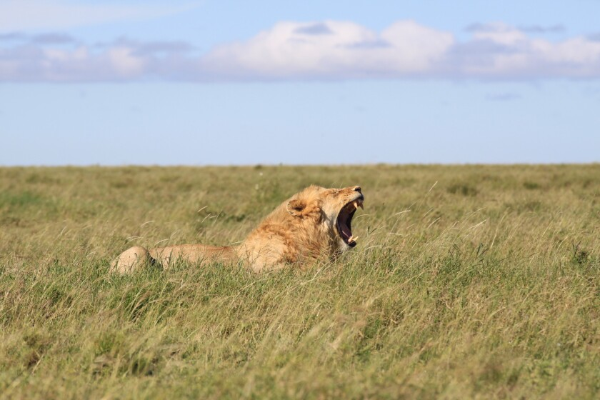 SkySafari by Elewana operates big-game tours in Africa that go looking for lions and other wildlife.