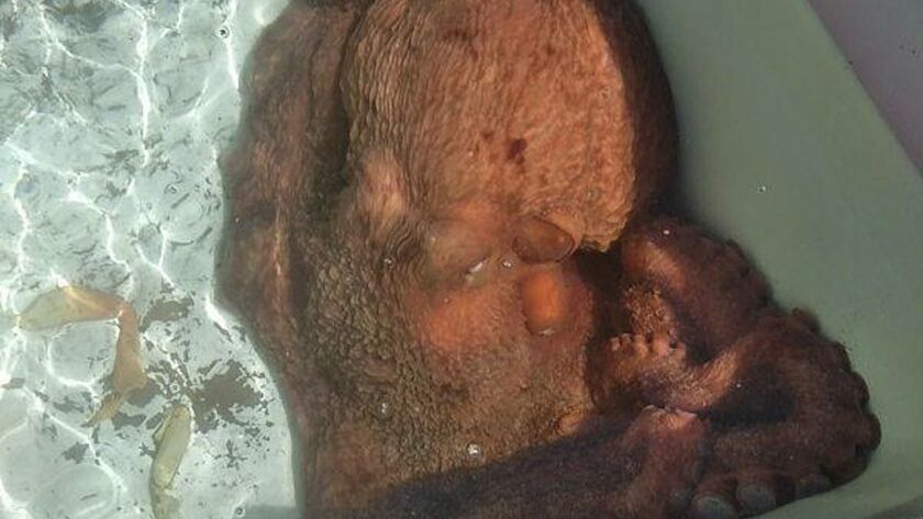 A 70-pound octopus named Fred sits in a holding tank at Giovanni's Fish Market in Morro Bay, Calif. Owner Giovanni DeGarimore bought the octopus and set it free.