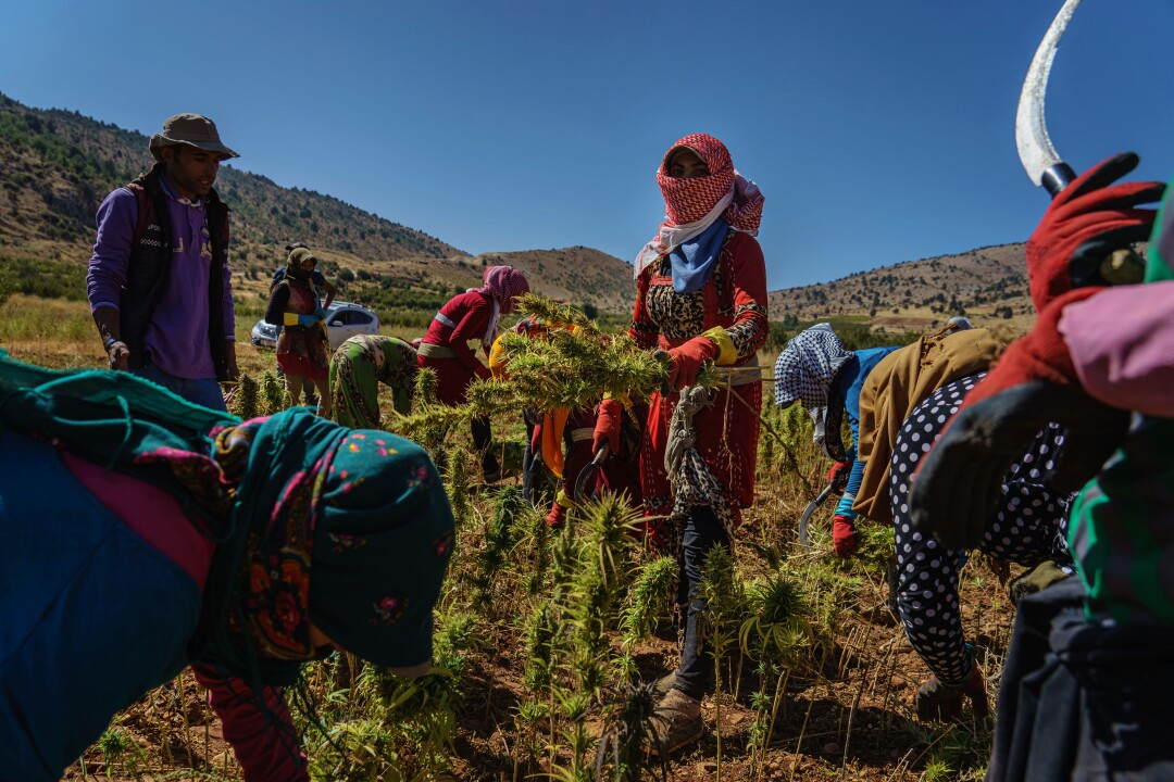 Armed with sickles, farmworkers harvest cannabis in the village of Yammouneh, Lebanon.