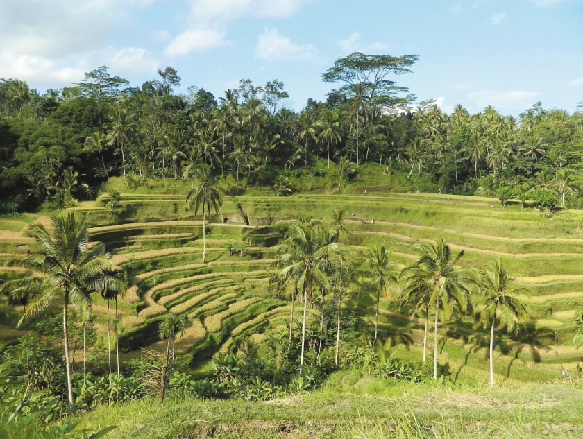 The rice terraces of Bali have been carefully constructed amid the Indonesian island's tropical vegetation.
