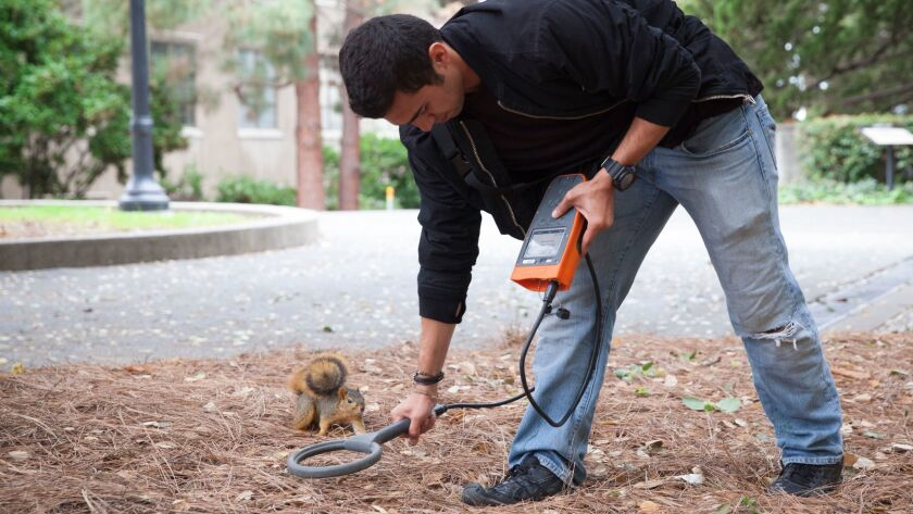 Aryan Sharif, a senior studying ecology at UC Berkeley, uses a device to locate microchipped hazelnuts buried by squirrels.