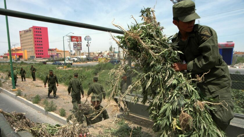 Mexican soldiers carry marijuana plants during a confiscation operation in Juarez, Mexico, Thursday,
