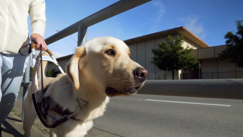 """Phil, a guide dog puppy at Guide Dogs for the Blind in the documentary """"Pick of the Litter."""""""