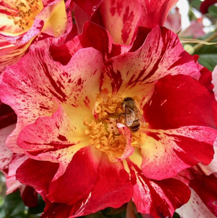 'Fourth of July,' a disease-resistant climbing rose with wonderful clusters of large, striped brilliant blooms