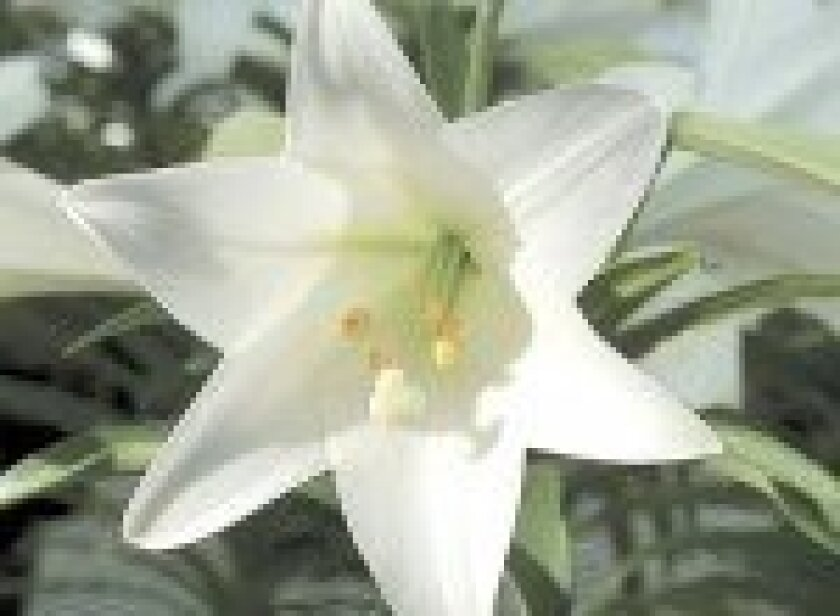 best-bet-lily-150x110