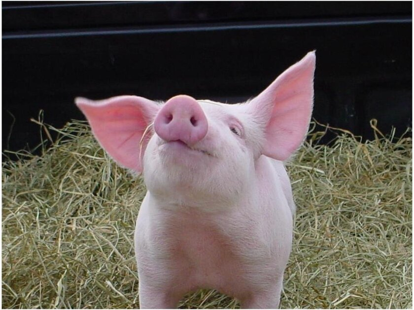 Genetically engineered pig produced by Revivicor, a subsidiary of United Therapeutics focused on the production of cloned genetically engineered pigs for transplantation into people. United Therapeutics has partnered with Synthetic Genomics to produce pigs with humanized organs.