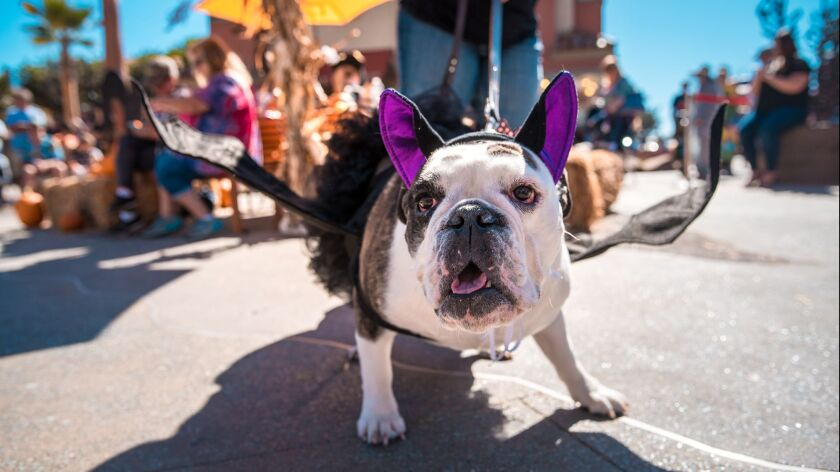Mabel the English bulldog flaunts a bat costume at last year's Ventura Harbor Village HOWL-O-Ween Do