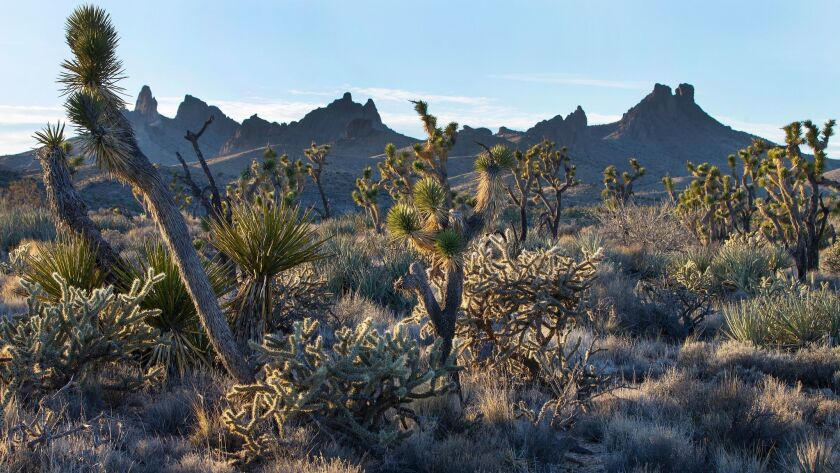 MOJAVE DESERT, CA - JANUARY 28, 2016: Native grasslands mingle with Joshua trees in the Mojave Dese