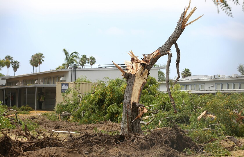 Newport Mesa Unified contractors tore down trees at Ensign Intermediate School on Monday.