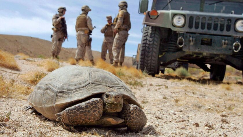 FILE - In this April 4, 2008, file photo, Marines wait for a desert tortoise, endangered and protect
