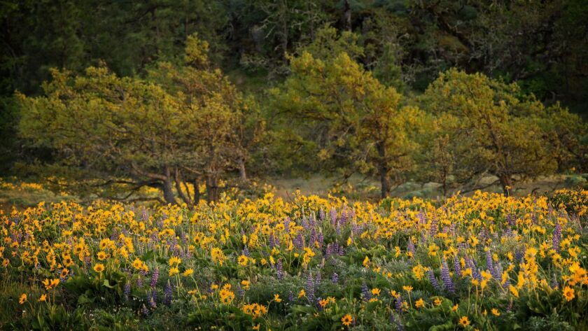 Spring Wildflowers on Rowena Crest