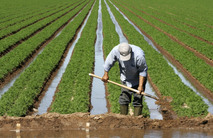 A farmworker adjusts the flow of irrigation in a carrot field in the Imperial Valley.