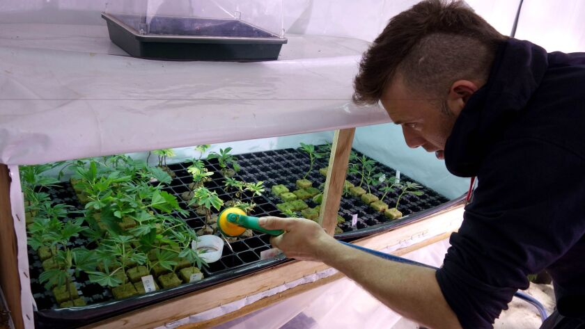 Diego Prandini cares for a batch of young plants at one of Uruguay's new cannabis clubs in Montevideo, Uruguay.