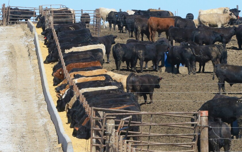 Cows eating at a feedlot