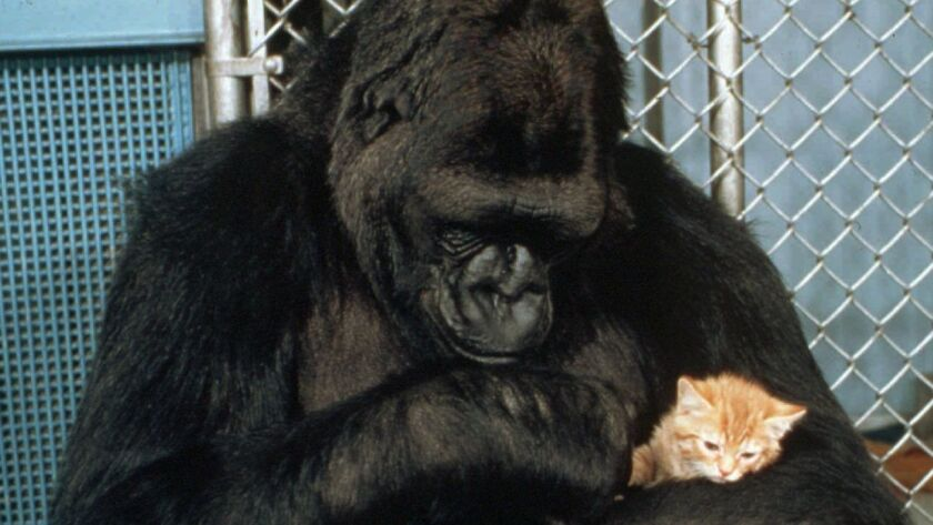 Koko, the western lowland gorilla who learned to communicate with sign language, cuddles her new kitten at the Gorilla Foundation in Woodside, Calif., in 1985. Koko died this week at the age of 46.