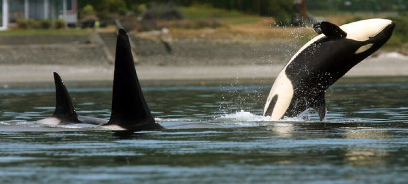 An orca whale breaches as a pod swims through Liberty Bay in Poulsbo, Wash. Killer whales that spend their summers in Puget Sound are a distinct population group and will remain protected under the Endangered Species Act, federal officials announced Friday.