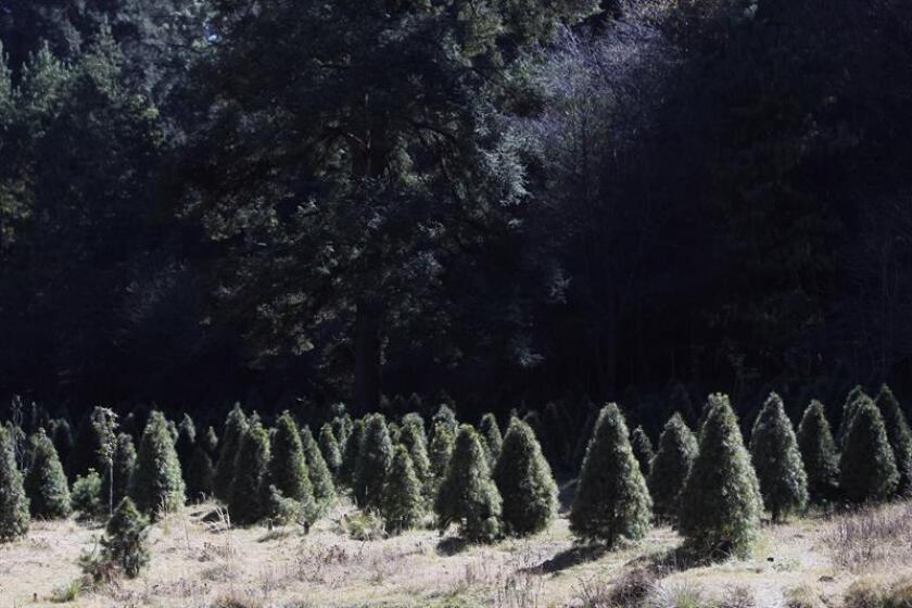 ACOMPAÑA CRÓNICA: ÁRBOLES NAVIDAD - MEX04. CIUDAD DE MÉXICO (MÉXICO), 16/12/2017.- Fotografía del 8 de diciembre de 2017, que muestra un sembrado de árboles de Navidad, en la zona del Ajusco en Ciudad de México (México). Los pinos de Navidad naturales autorizados suponen, más allá de ser la emblemática ornamenta de la festividad, un impacto positivo para el medioambiente por sus múltiples aplicaciones una vez terminada la temporada de fiestas. EFE/Sáshenka Gutiérrez