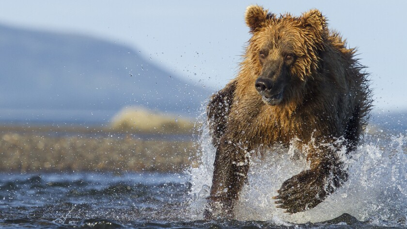 """""""Planet Earth: The Hunt"""" on BBC America."""