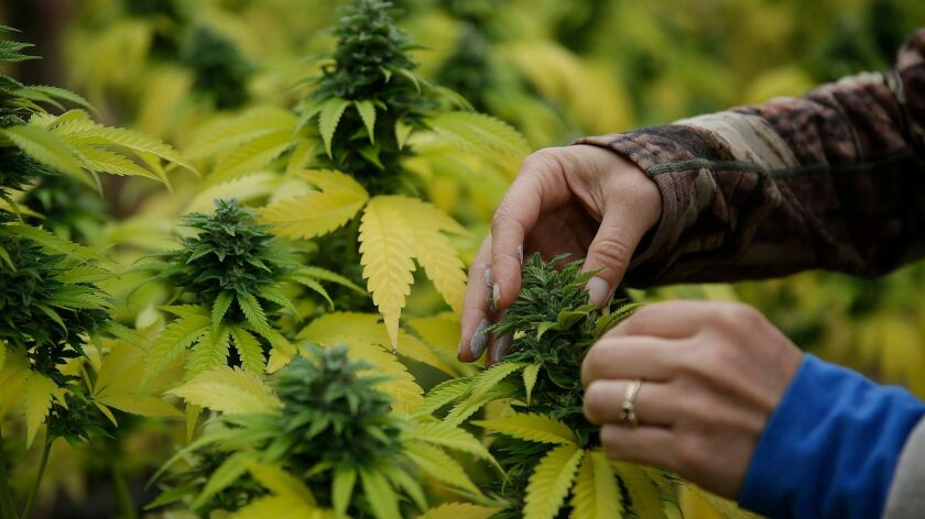 A worker squeezes a bit of oil from a cannabis bud at a small cannabis farm in Humboldt County in 2016. A medical marijuana oil extraction facility has applied to open in Costa Mesa.