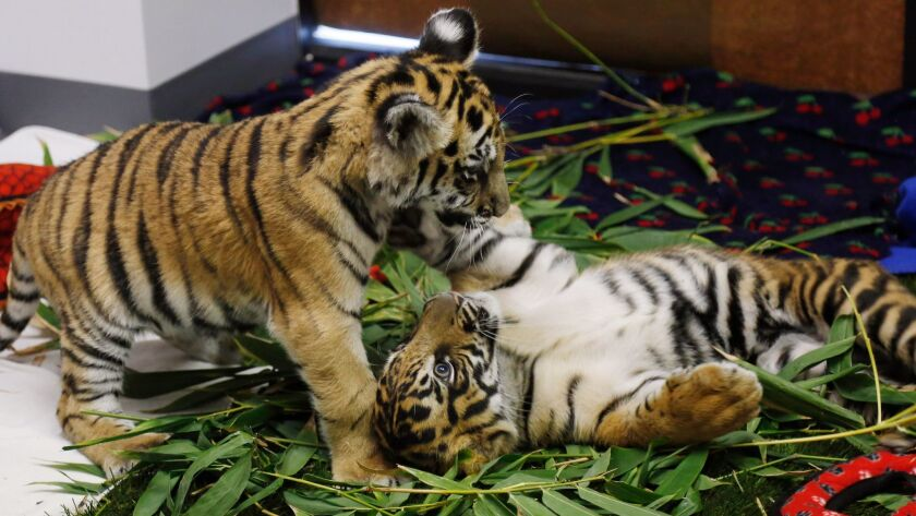TORRANCE, CA: October 20, 2017 - A Bengal tiger cub, who had been smuggled, plays with a Sumatran t